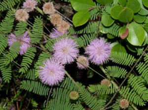 Mimosa microphylla, or littleleaf sensitive-briar
