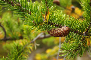 Foliage and cone of Pinus banksiana