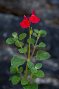 Salvia microphylla, photographed in the wild