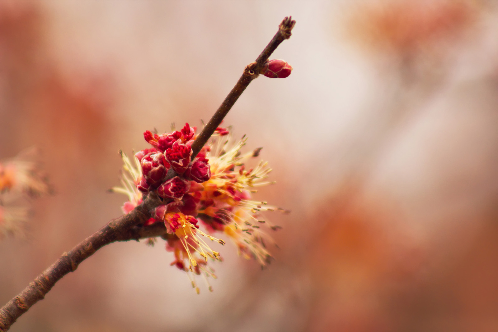 The male flowers of <i>Acer rubrum</i>