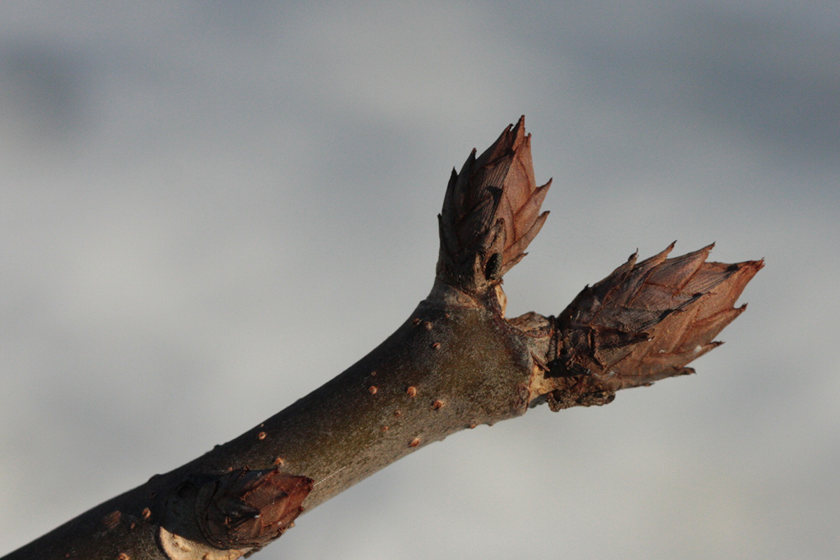 Buds on Aesculus glabra