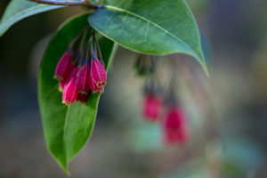 Agapetes miniata in bloom