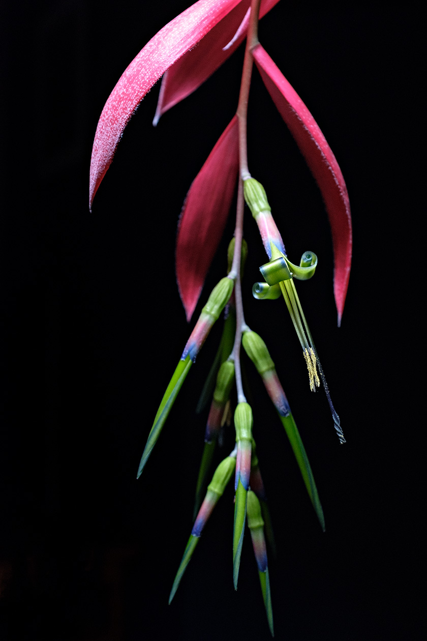 The flower and inflorescence of <i>Billbergia nutans</i>