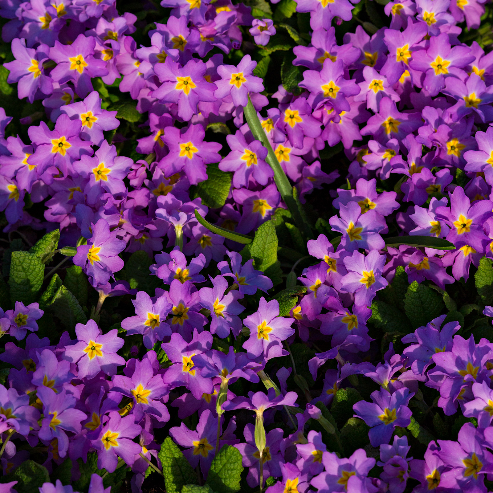 A mass of <i>Primula vulgaris</i> subsp. <i>sibthorpii</i> in UBC Botanical Garden