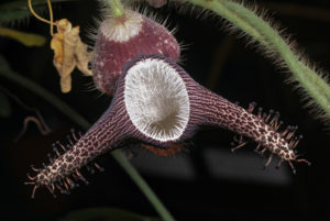 The flower of Aristolochia ridicula
