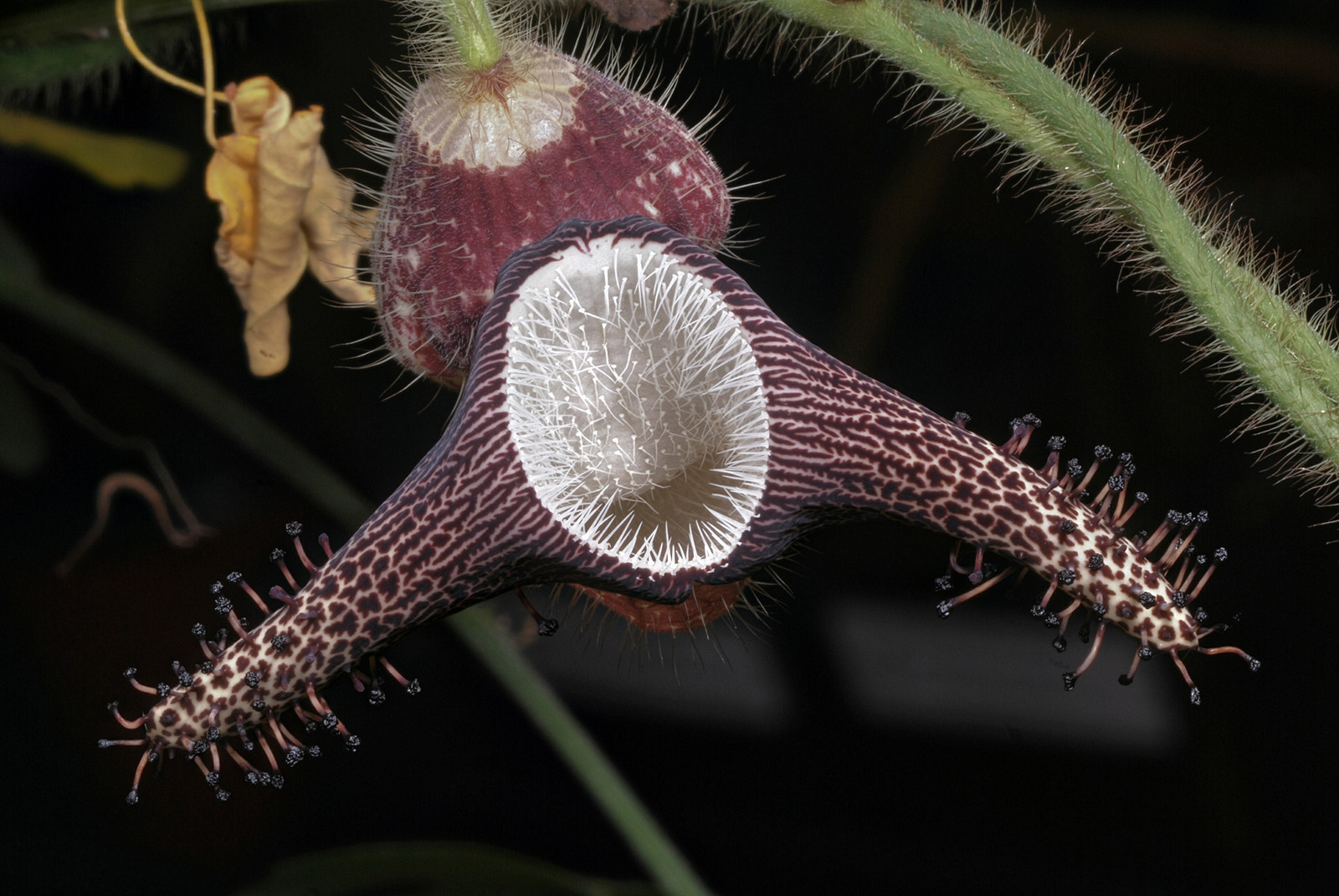 The flower of <i>Aristolochia ridicula</i>