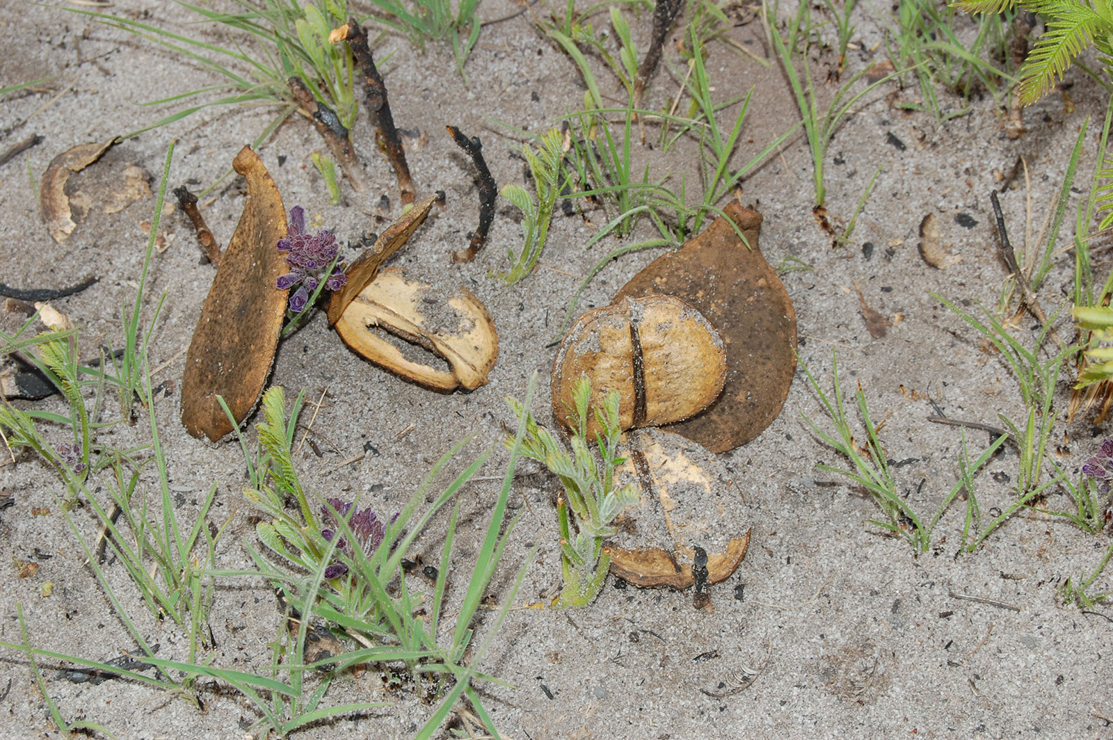 Remains of the fruit of Jacaranda decurrens and unopened inflorescences