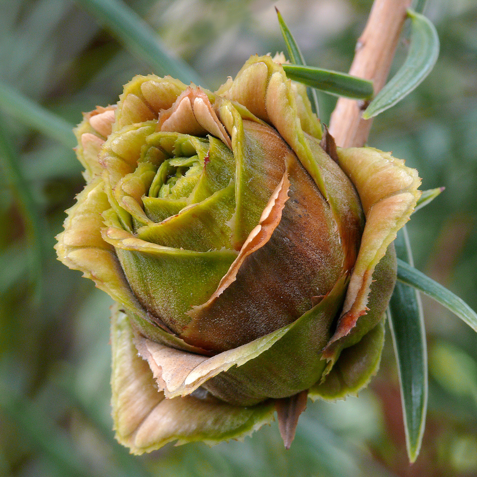 Immature female cone of Keteleeria evelyniana