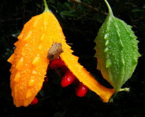 Fruits of Momordica balsamina