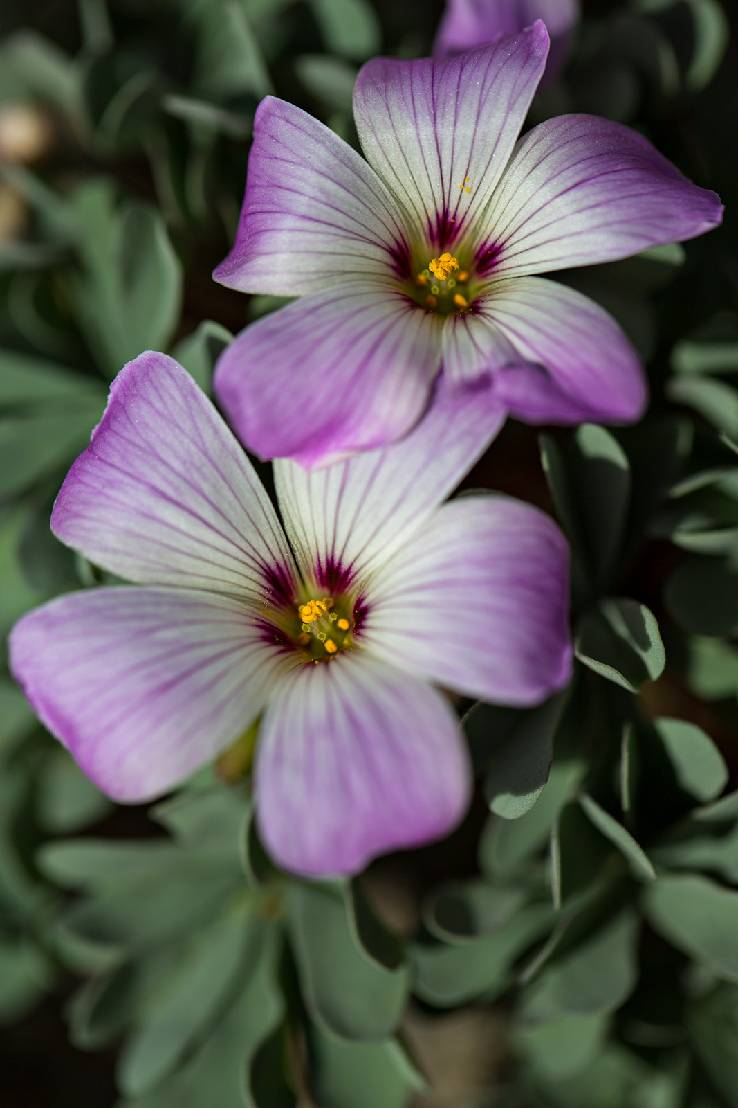 Close-up of the flowers of Oxalis adenophylla