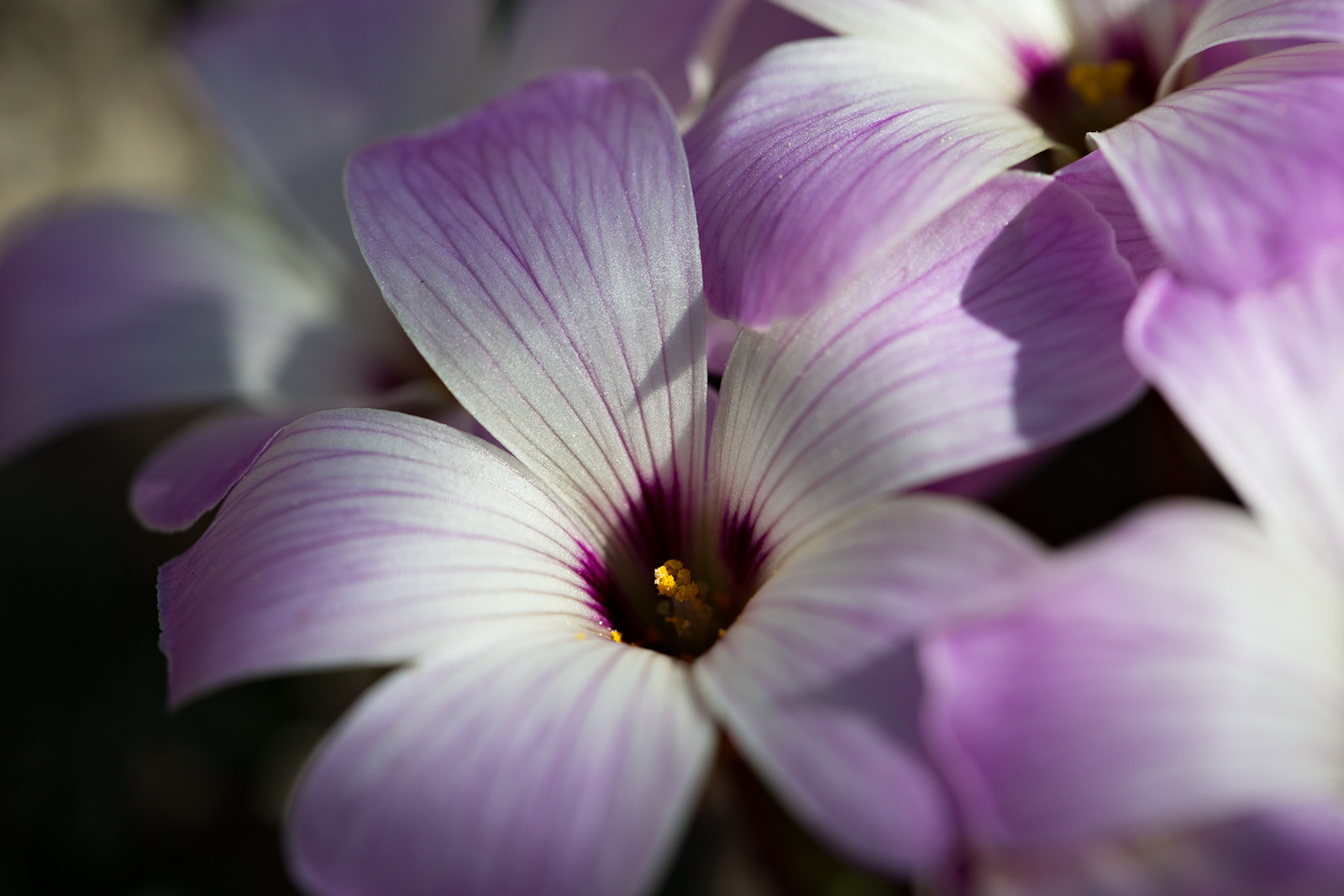 Another close-up of Oxalis adenophylla