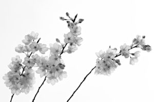 Flowers of Prunus yedoensis 'Akebono' rendered in black-and-white