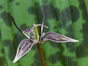 The flower and foliage pattern of Scoliopus bigelovii