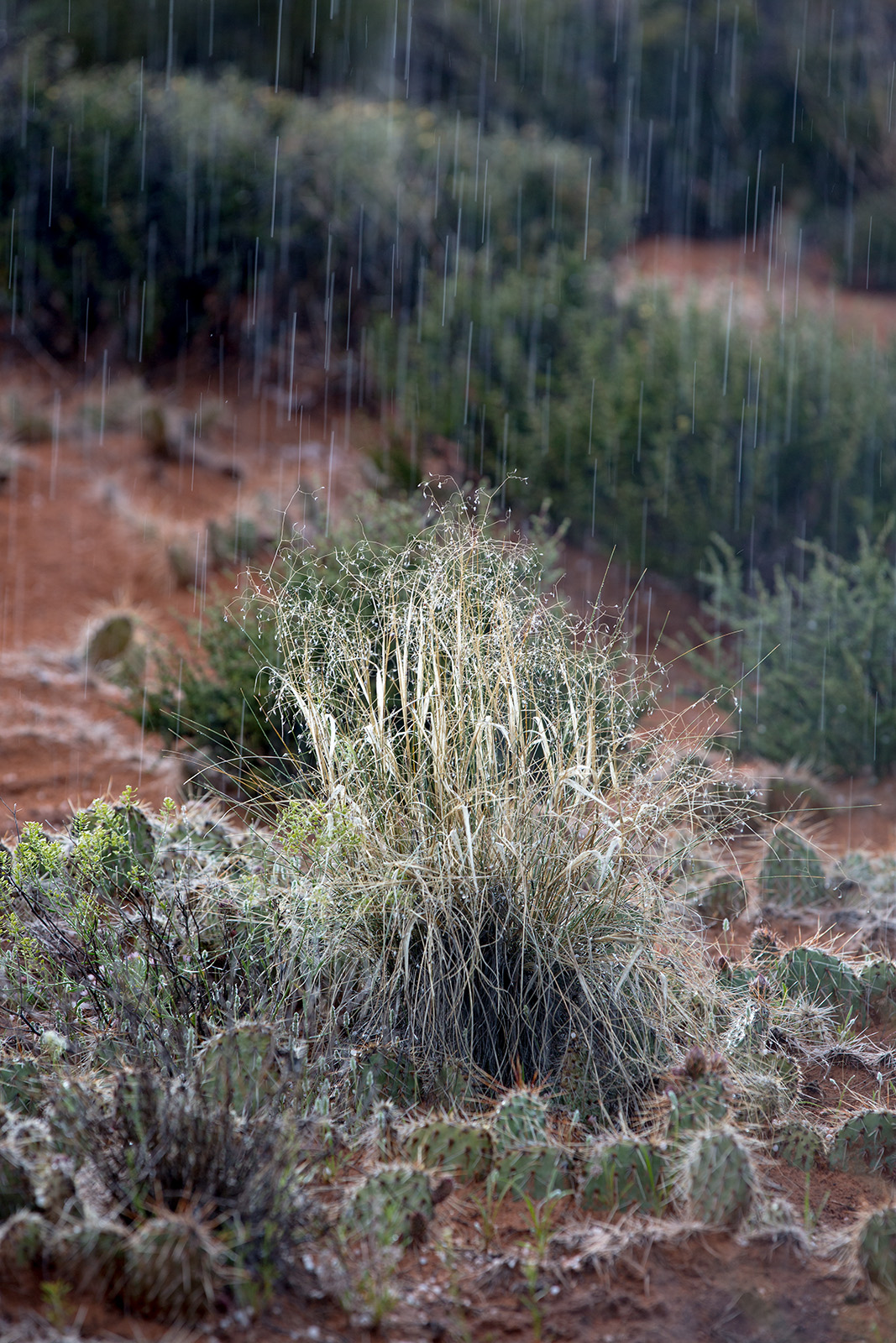<i>Achnatherum hymenoides</i> in hail storm
