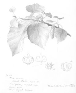 Walpole's illustration of Betula kenaica
