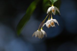 Close-up of the flowers of Styrax japonicus 'Fargesii'