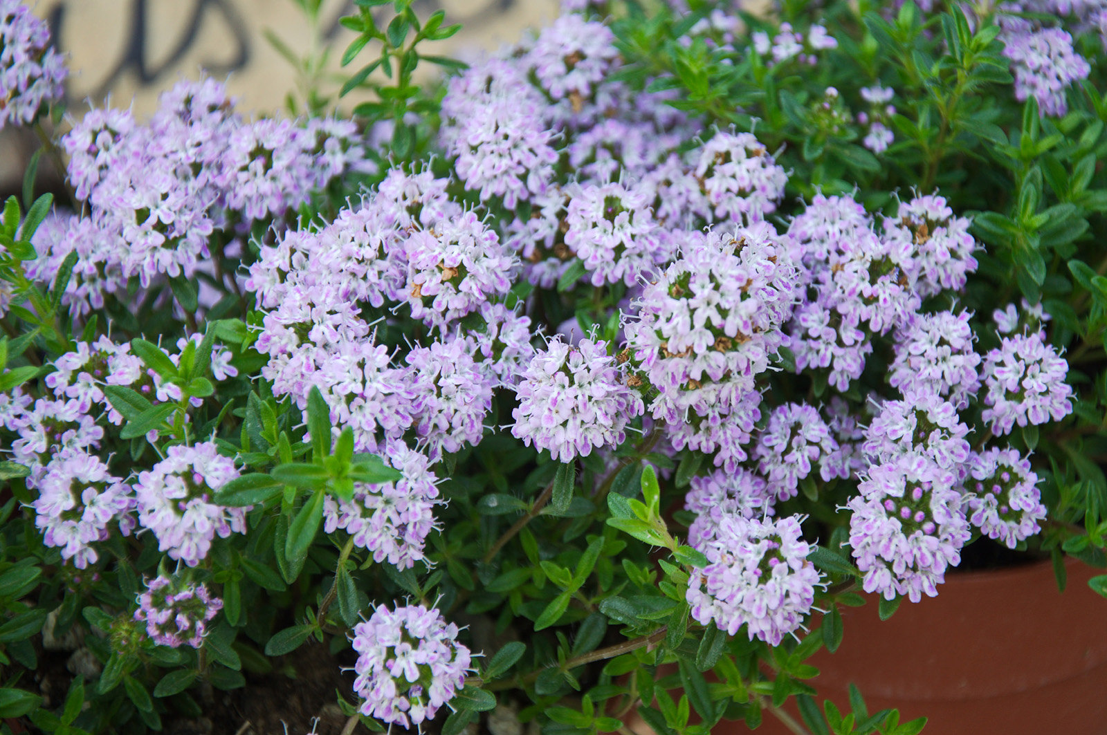 Inflorescences of <i>Thymus serpyllum</i>
