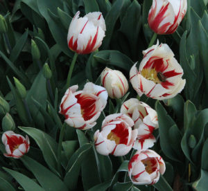 Flowers of Tulipa 'Sorbet'