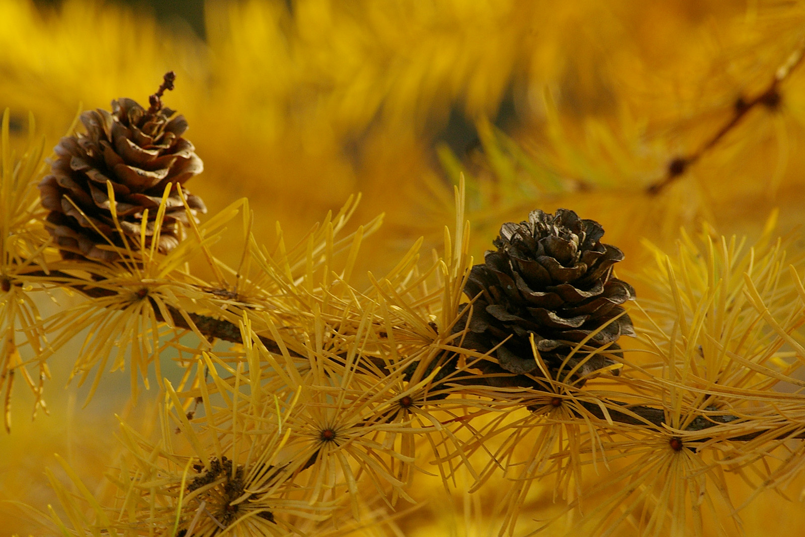 Late autumn cones of Larix decidua
