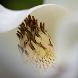 Close-up of the floral parts of Magnolia macrophylla