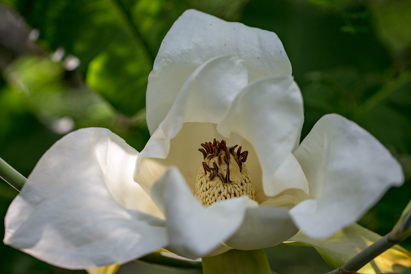 The flower of Magnolia macrophylla