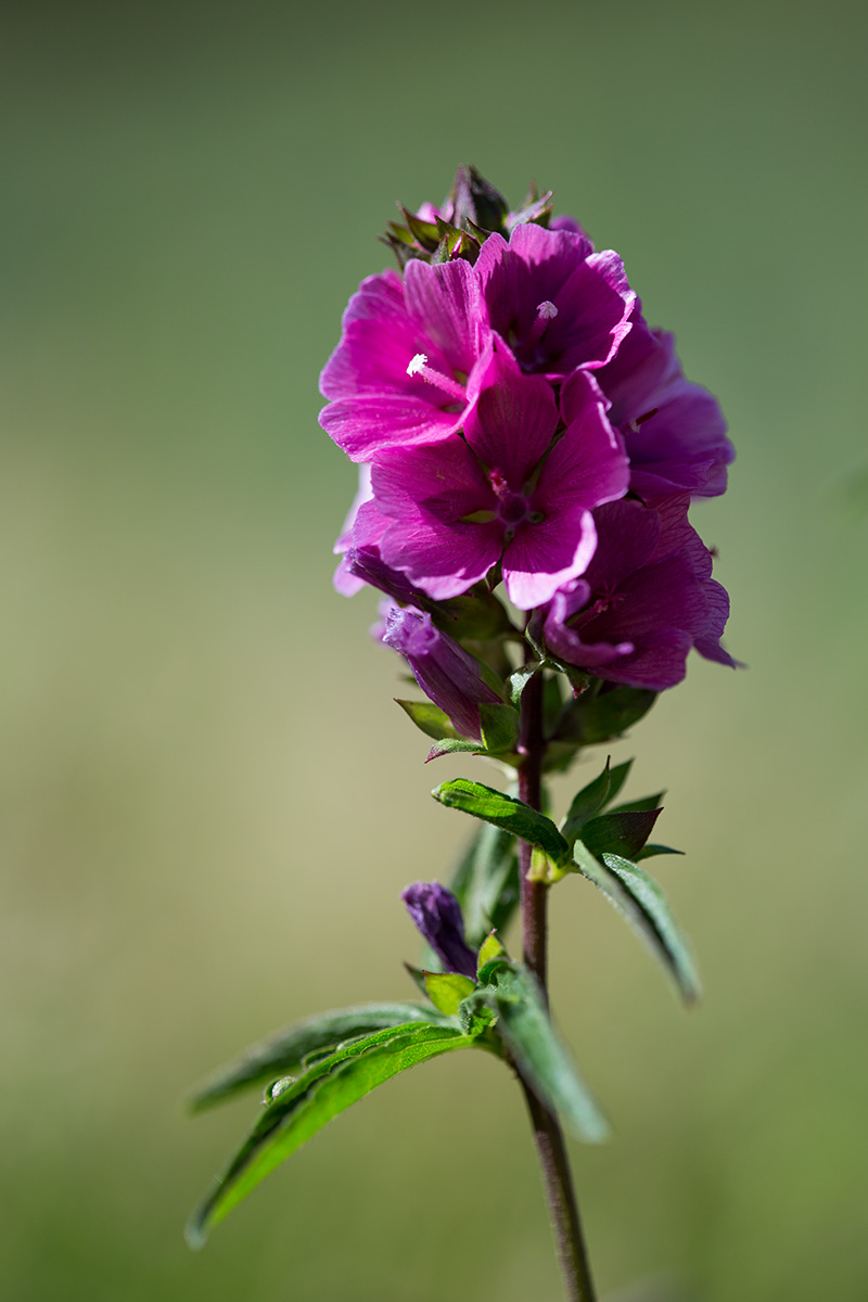 Female flower of Sidalcea hendersonii