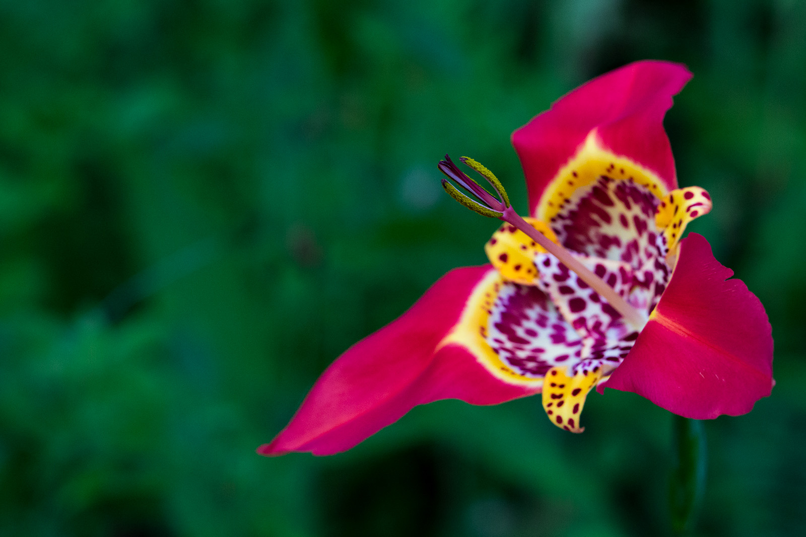 A different perspective on the flower of Tigridia pavonia
