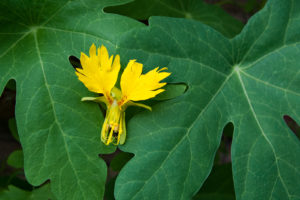 Flower and foliage of Tropaeolum peregrinum