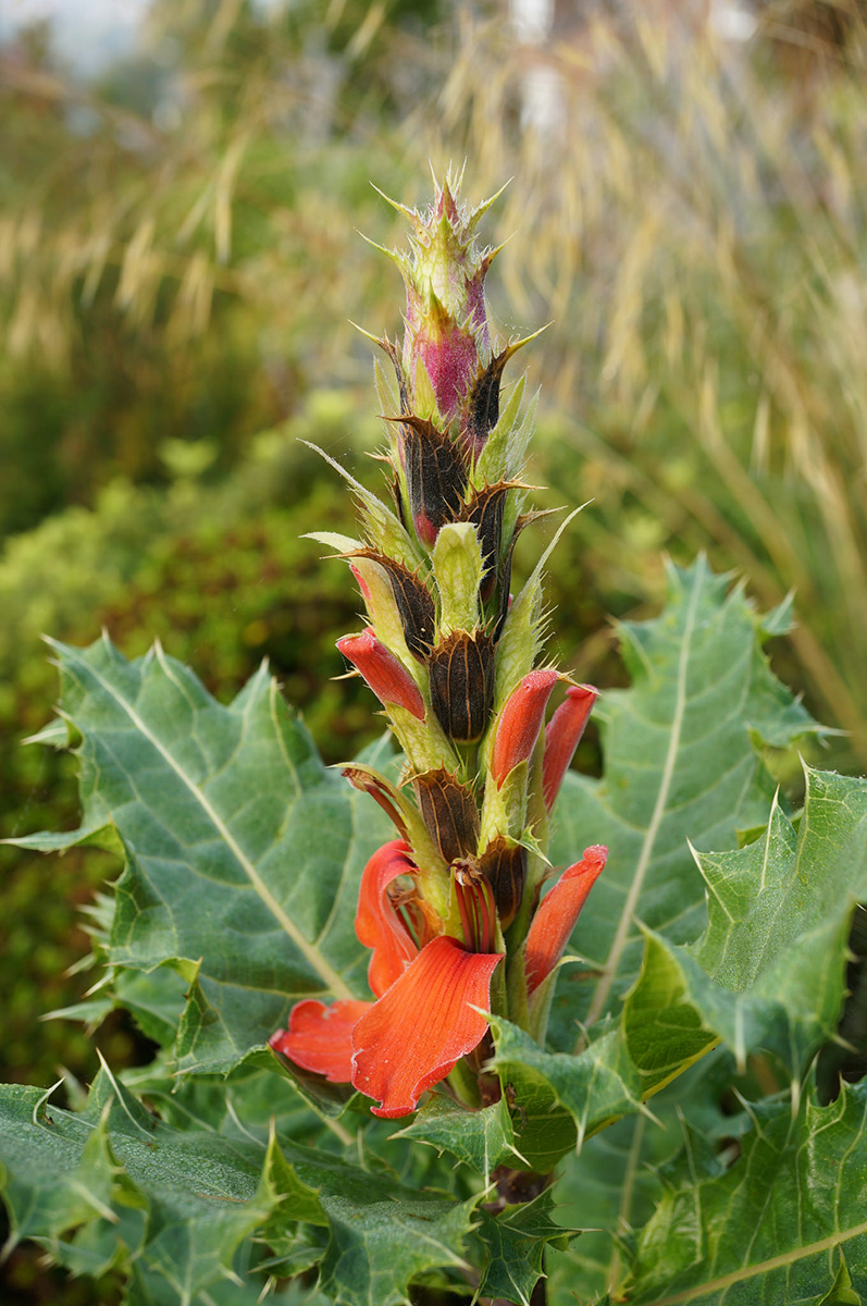 The inflorescence and foliage of <i>Acanthus sennii</i>