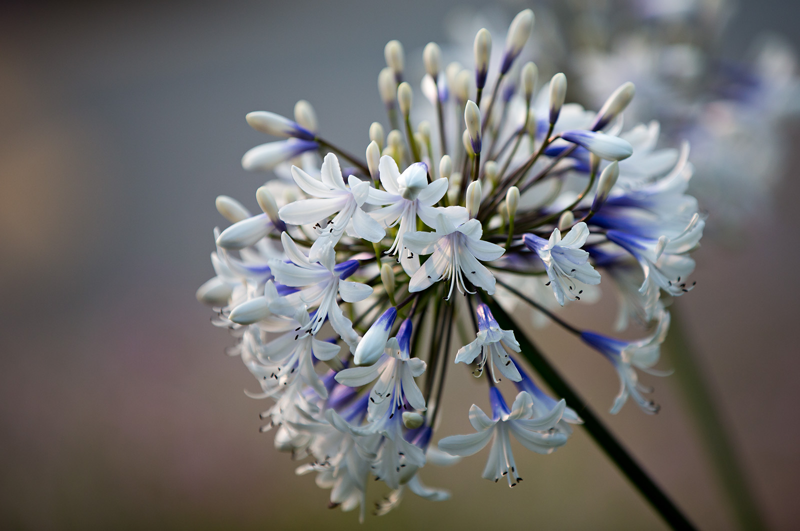 The inflorescence of <i>Agapanthus</i> 'PMN06'