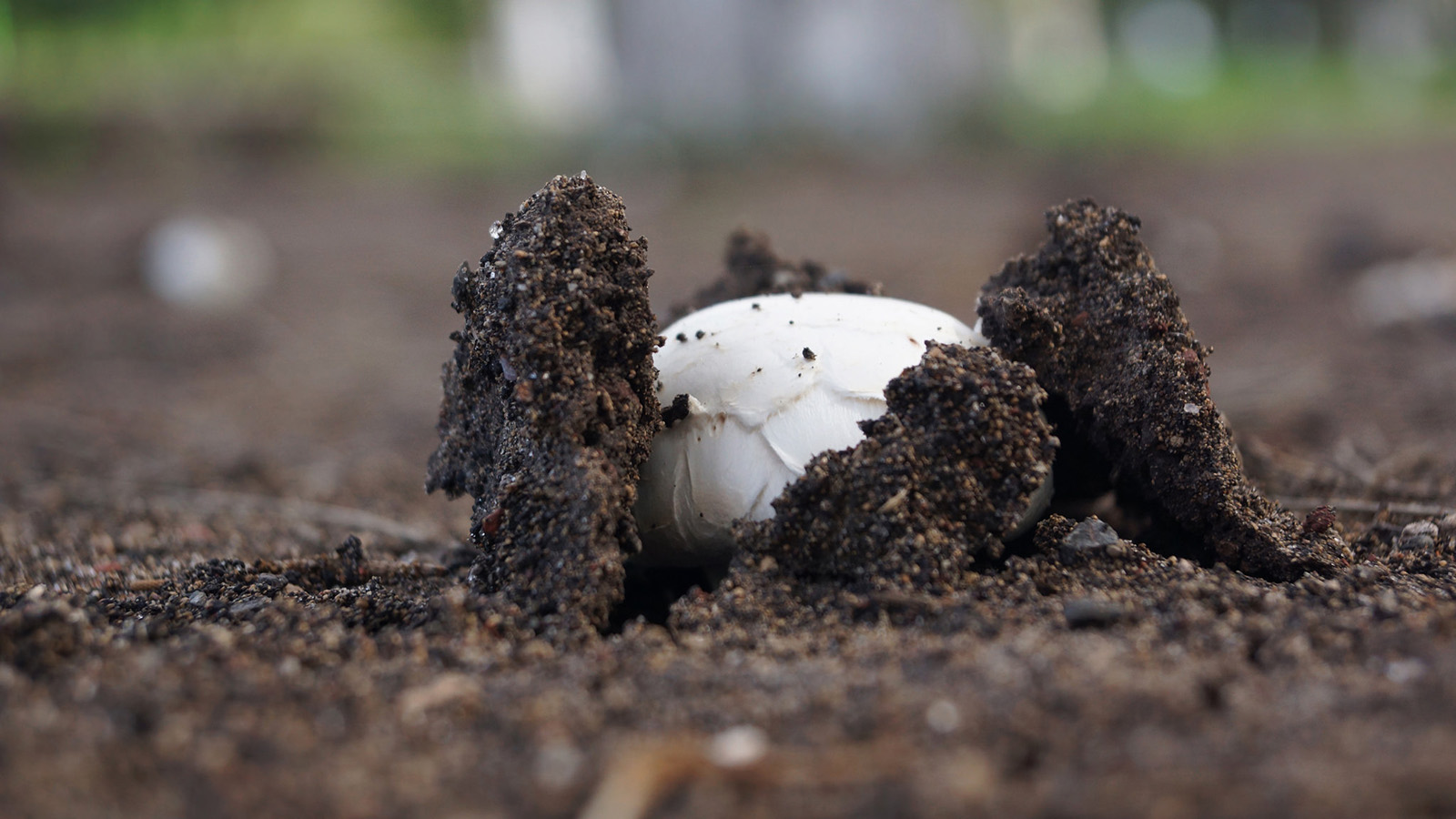 The emerging fruiting body of Agaricus bisporus