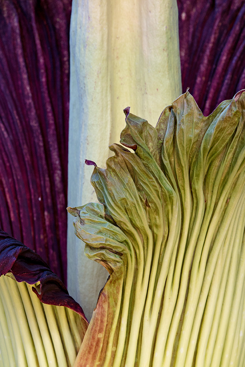The ruffled spathe of Amorphophallus titanum