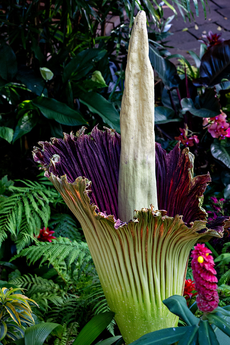 Another view of Amorphophallus titanum