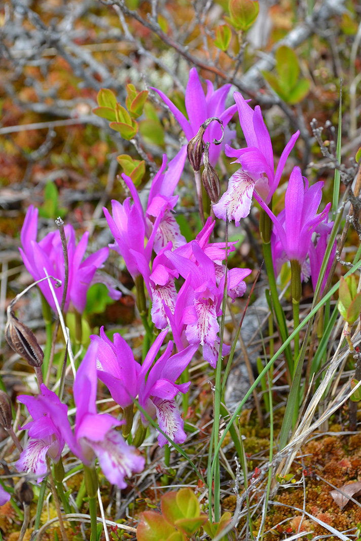 A cluster of Arethusa bulbosa plants in bloom