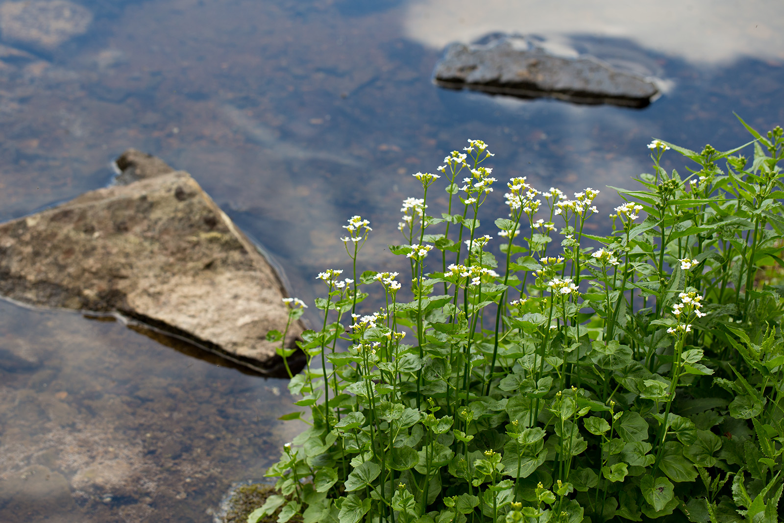 Cardamine cordifolia on the shores of Quiniscoe Lake