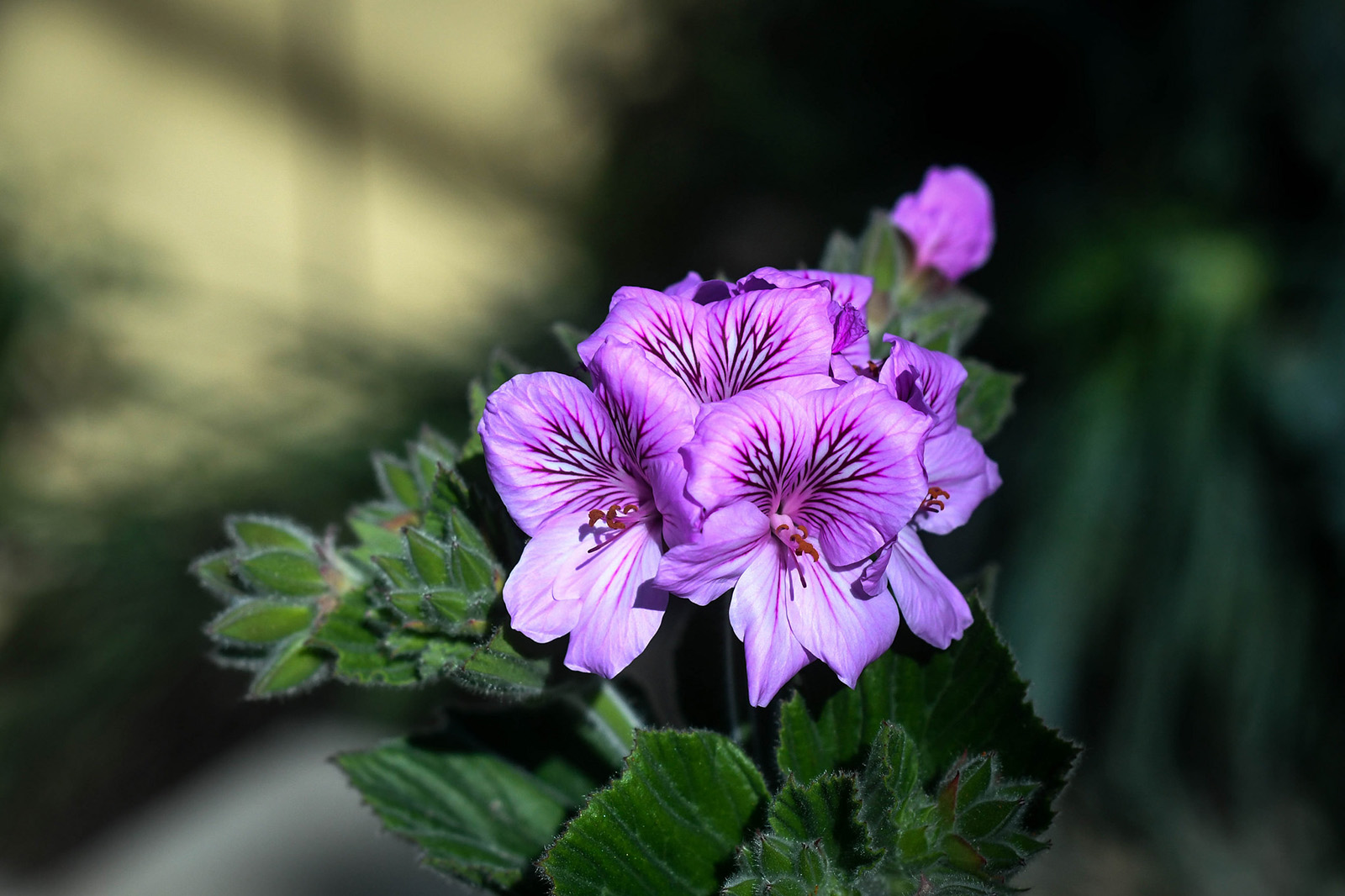 The flowers and foliage of <i>Pelargonium cucullatum</i>