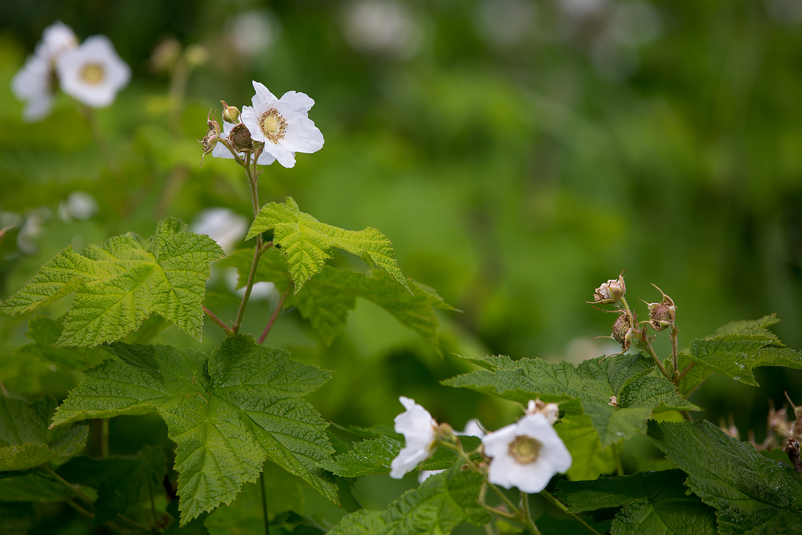 The flowers of Rubus nutkanus