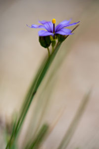 Flower of Sisyrinchium littorale