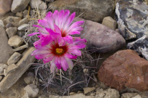 Thelocactus bicolor, growing wild in Texas