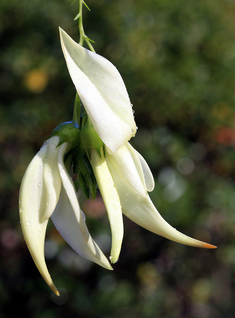 White-petaled variant of Clianthus puniceus