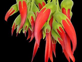 The typical red flowers of Clianthus puniceus