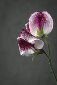 Flower of Lathyrus odoratus 'Wiltshire Ripple'