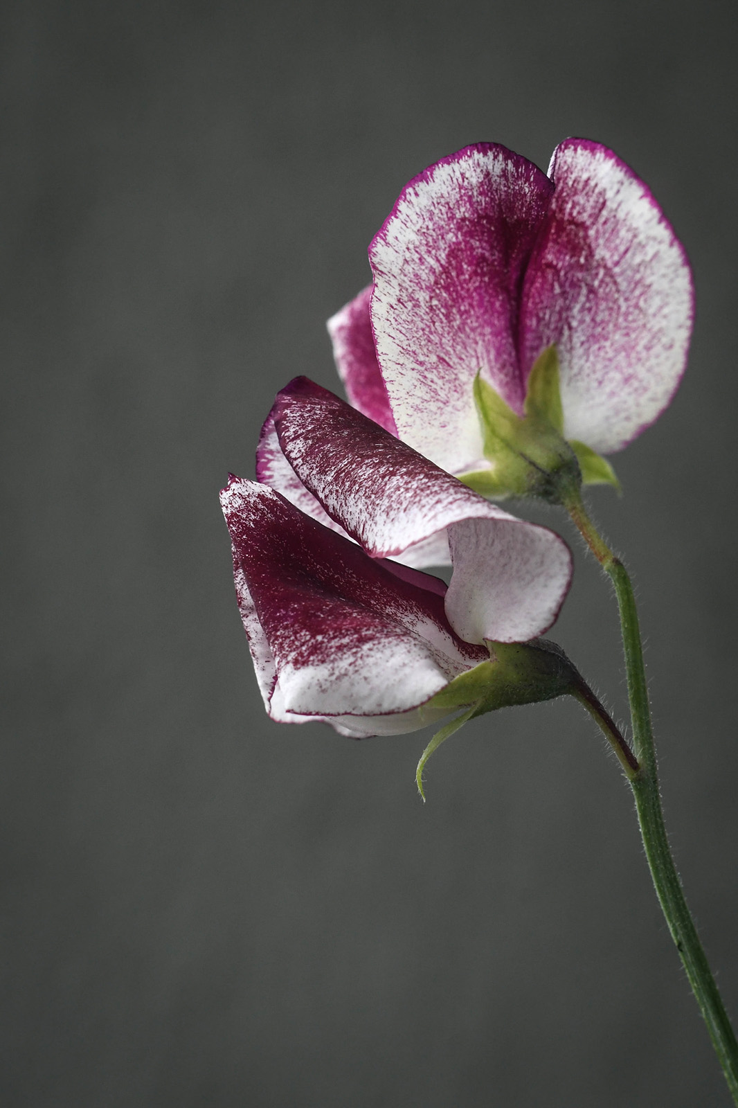 Flower of <i>Lathyrus odoratus</i> 'Wiltshire Ripple'