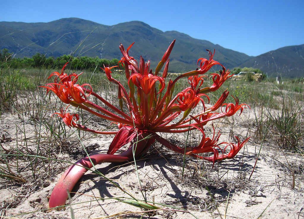 <i>Brunsvigia orientalis</i>, growing in South Africa