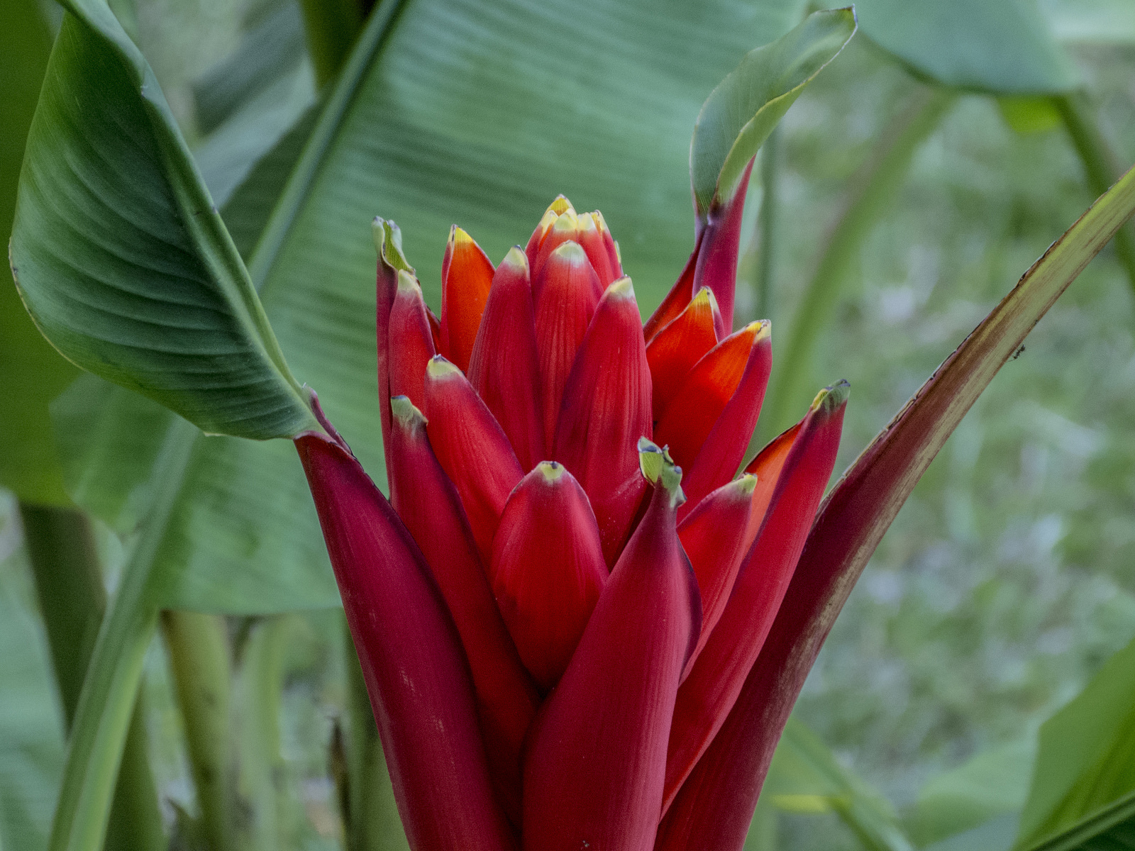 Inflorescence of <i>Musa coccinea</i>