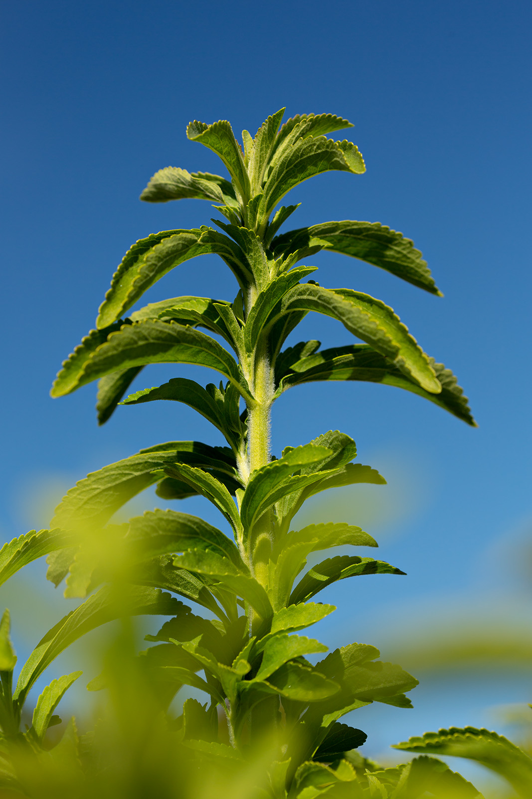 Foliage and stem of <i>Stevia rebaudiana</i>