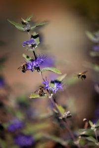 An early autumn photo of Caryopteris × clandonensis
