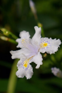The flower of Iris japonica