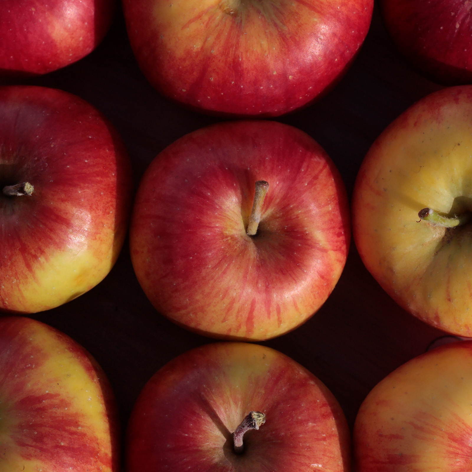 Fruits of <i>Malus</i> 'MN #1711', or honeycrisp apple