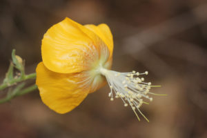The flower of Abutilon persicum